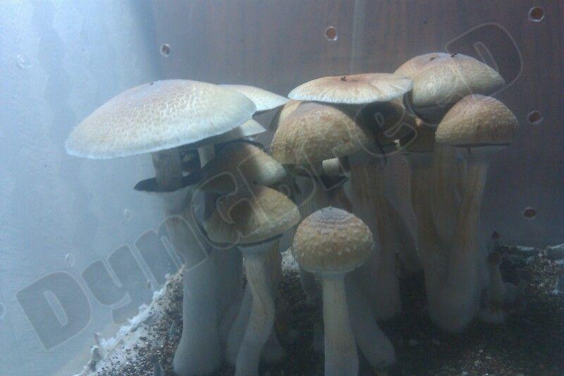 Psilocybe caerulescens - Mushroom Cultivation - Shroomery Message