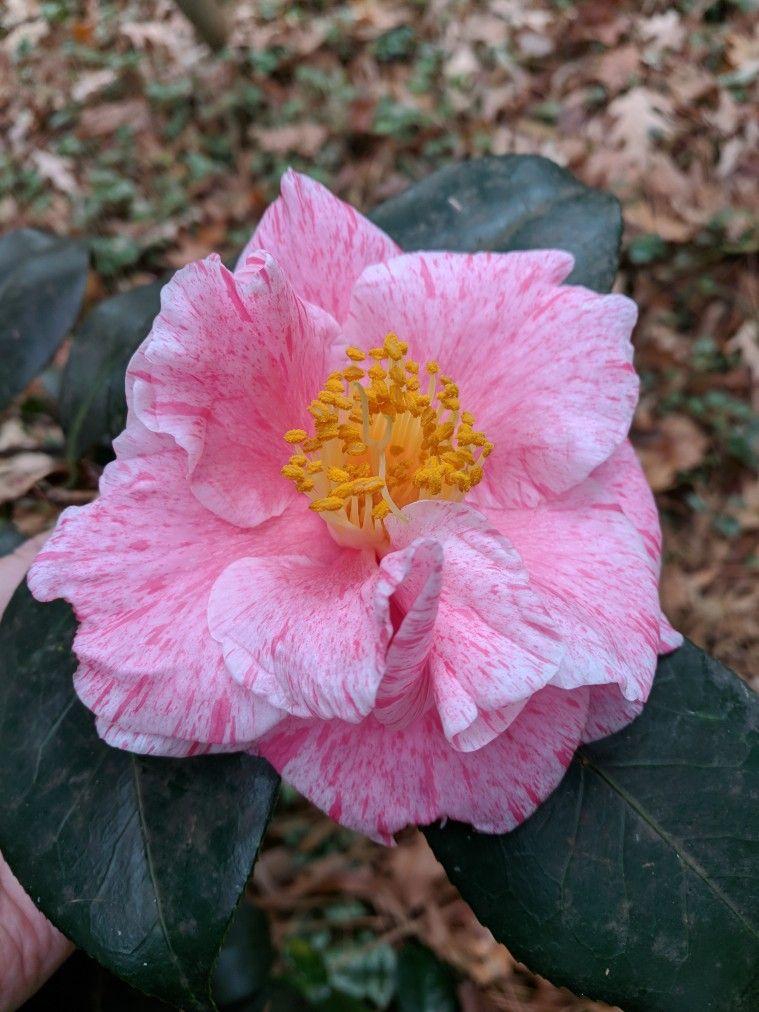 Camellia Japonica Destiny Camellia Japonica Plants