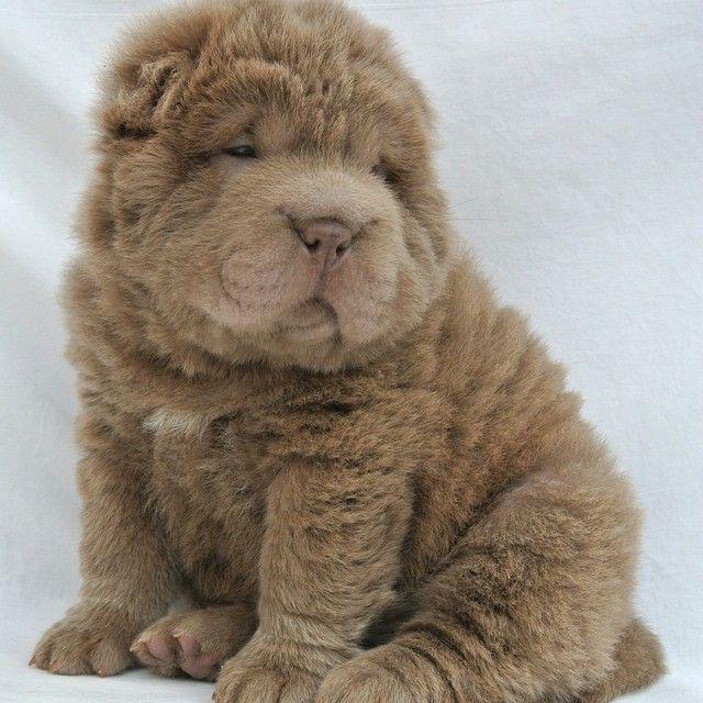 Fluffy Shar Pei Bear Coat Shar Pei Yuanpei Shar Pei Southport