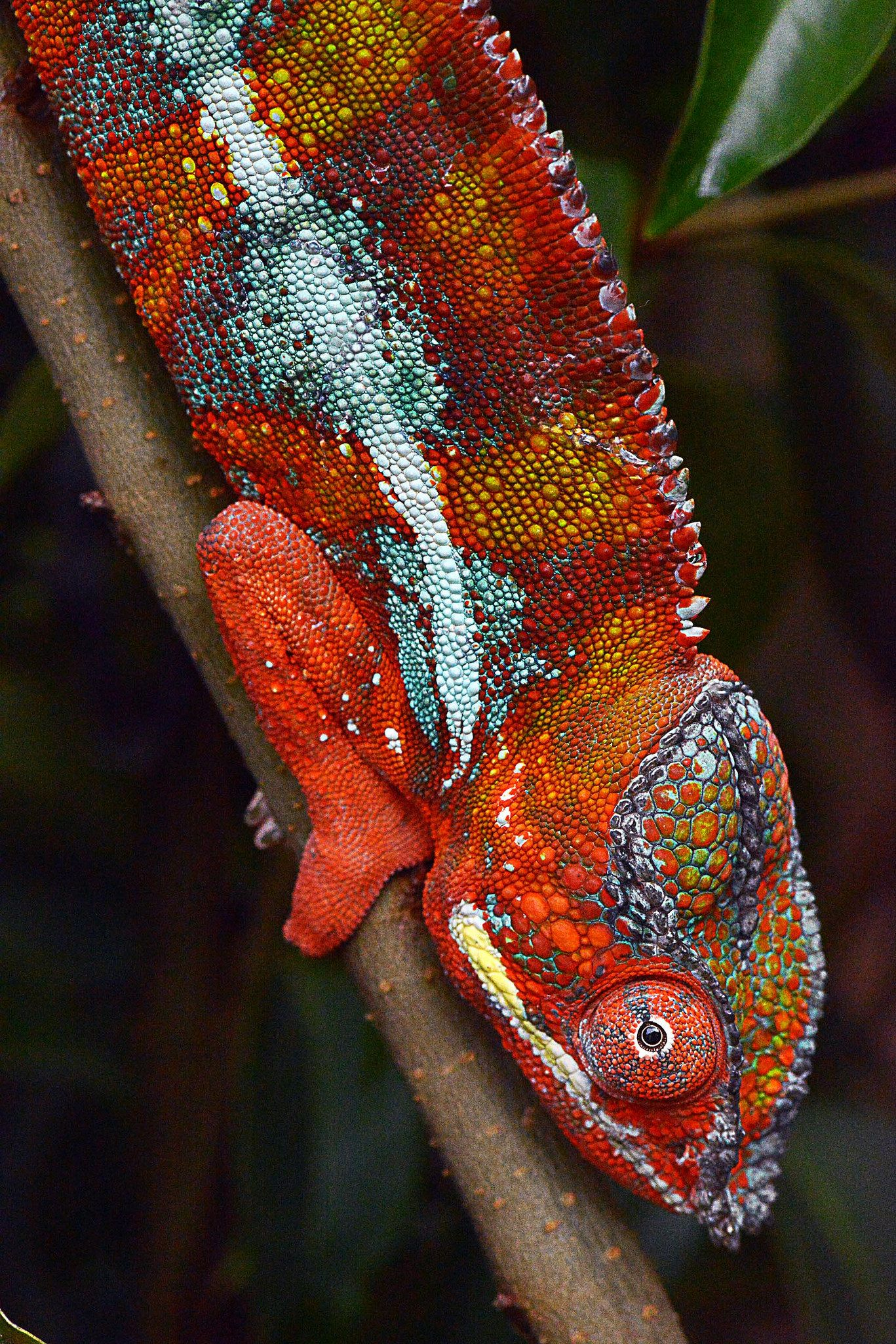 Furcifer pardalis Sirama | This male panther chameleon is from the Sirama locality, near Ambilobe, Madagascar | by Olaf Pronk