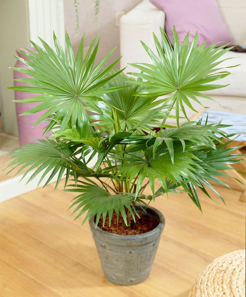 Ikea Palm Tree Livistona Livistona Rotundifolia Also Available From Ikea