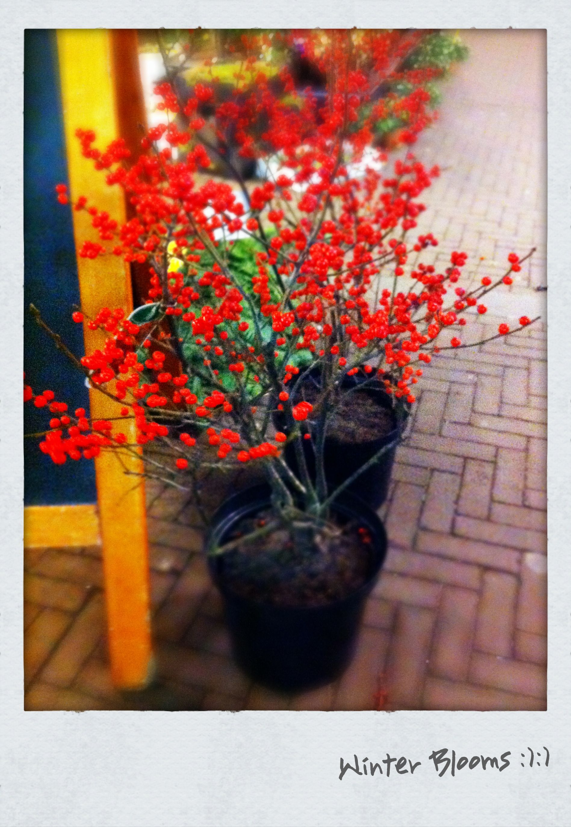 Winter blooms at a local market in Amsterdam. The red colour looks ...
