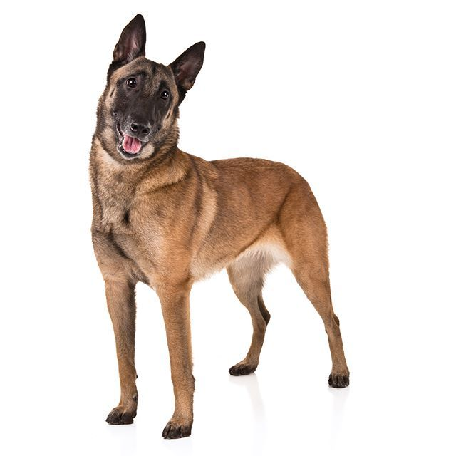 Belgian Malinois Dog Breed Information Malinois Dog Malinois
