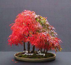 Rare Blue Maple Seeds Bonsai Tree Plants Pot Suit For Diy Home