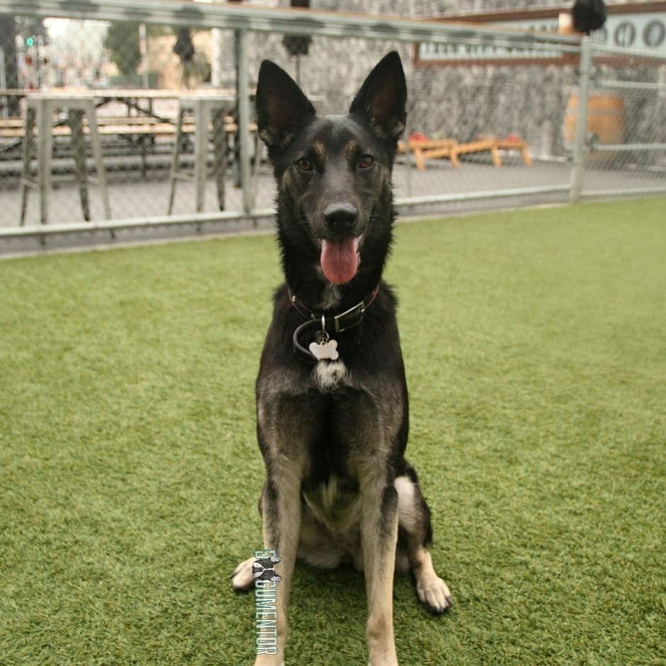 Sasha, German Shepherd Mix, Quartyard German shepherd