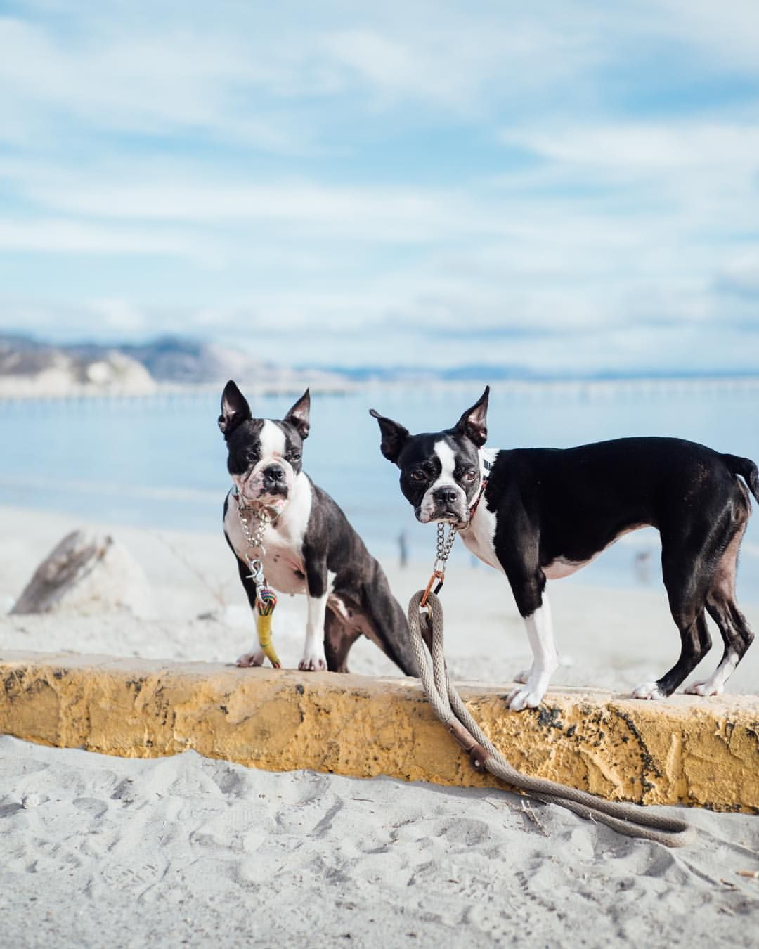 Pin By Coterie Agency On Boston Terriers Make Me Smile Boston Terrier Dog Boston Terrier Love Boston Terrier