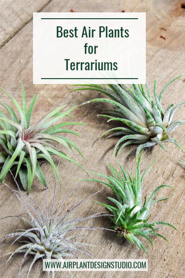 Best Air Plants For Terrarium Design By Megan Richards Terrarium