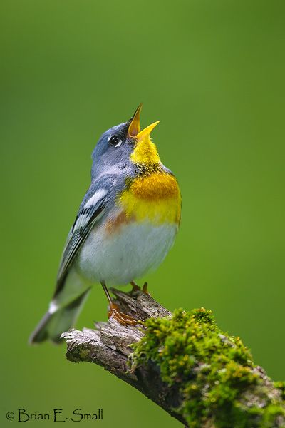 This Northern Parula (Setophaga americana) sings a song to welcome morning. - Bird photography by Brian E. Small