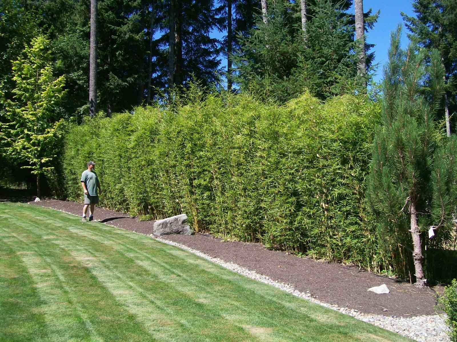 fargesia rufa fence google search garden pinterest. Black Bedroom Furniture Sets. Home Design Ideas