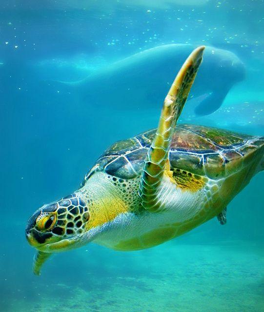 Rehabilitated sea turtle with his mascot Manatee, at the Mote Marine.