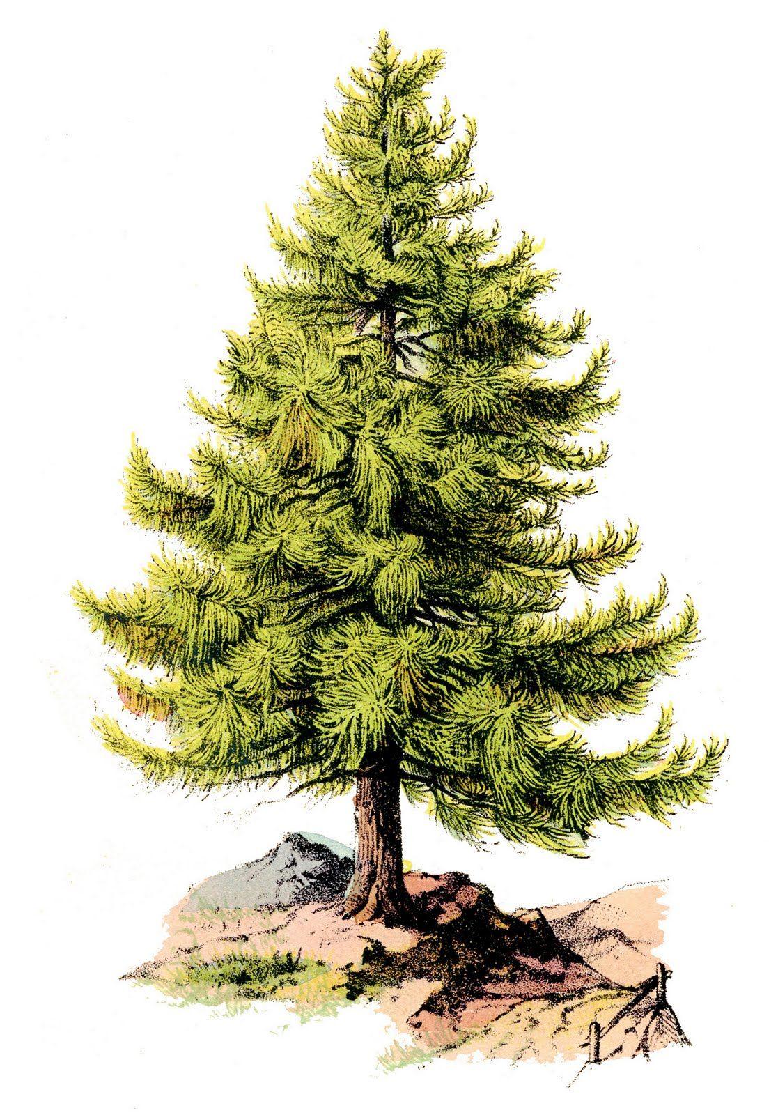 The Graphics Fairy LLC*: Vintage Clip Art - Perfect Pine Tree ...