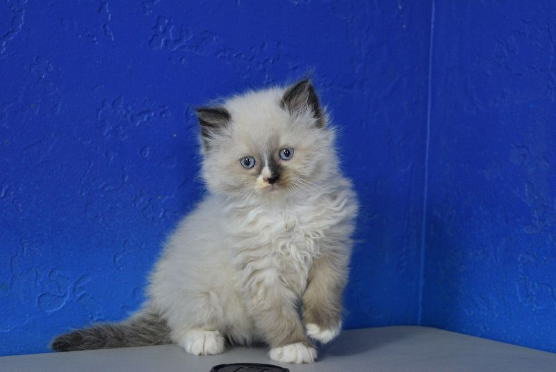 Donner Seal Mitted With A Blaze Male Ragamuffin Kitten Ragdoll Kitten Ragamuffin Kittens Teacup Kitten