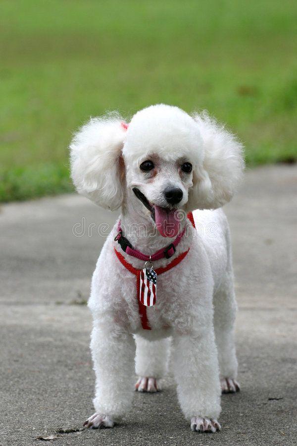 Poodle. Portrait of a white French poodle in a park #Sponsored , #AFFILIATE, #ad, #Portrait, #park, #poodle, #Poodle