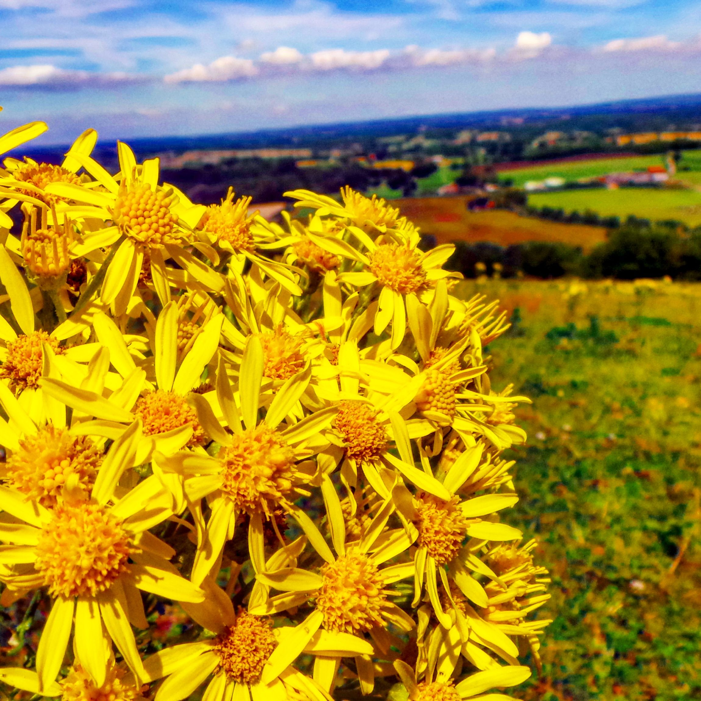 Bright Yellow Flowers Skyline Southeast Southdowns