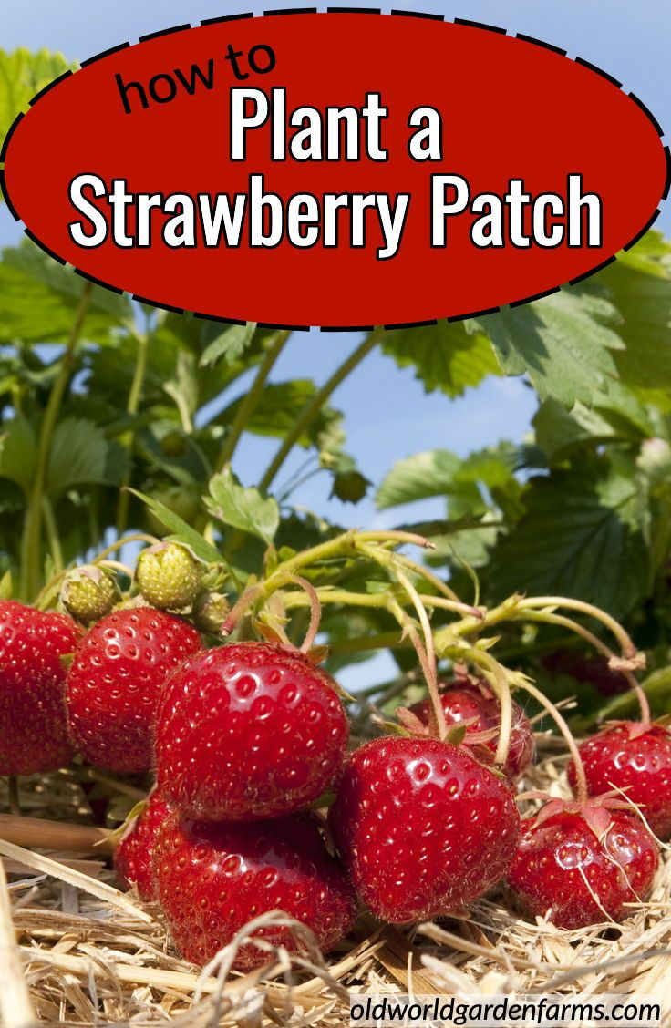 How to Plant a Strawberry Patch