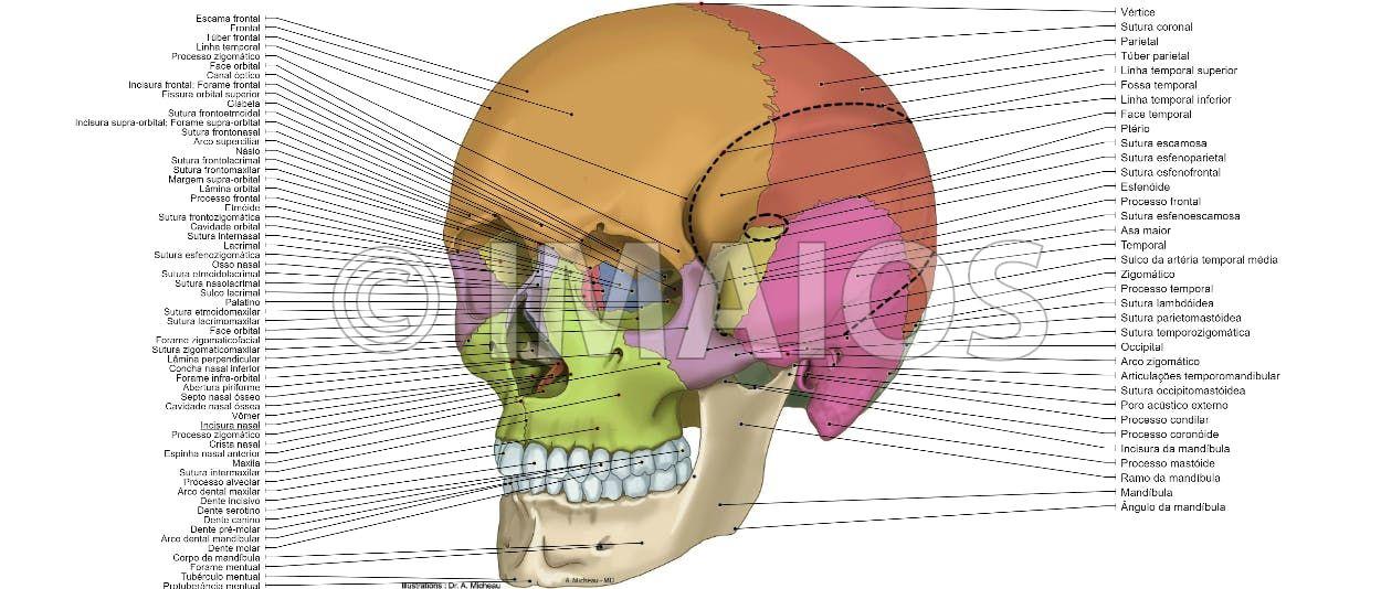 Skull Anatomical Illustrations Cranial Sutures Bones Of Cranium