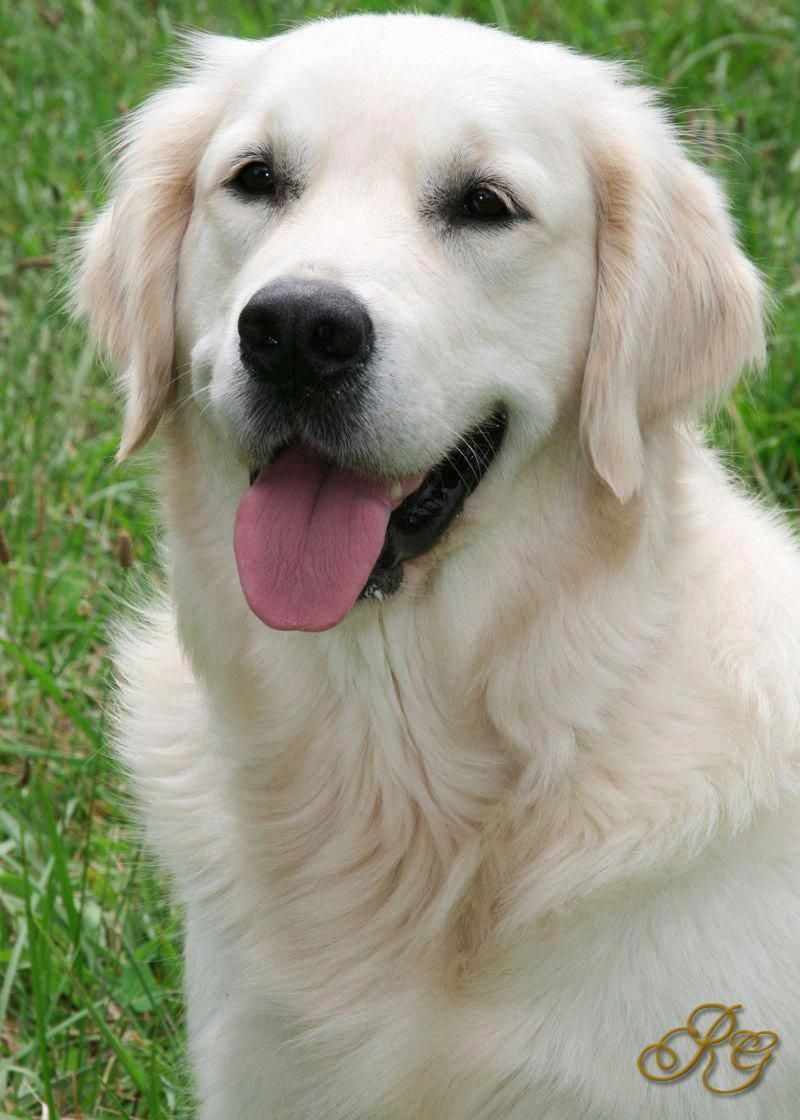 Excellent Golden Retrievers Detail Is Available On Our Internet Site Check It Out And You Will Not Be In 2020 White Retriever Golden Retriever Dogs Golden Retriever