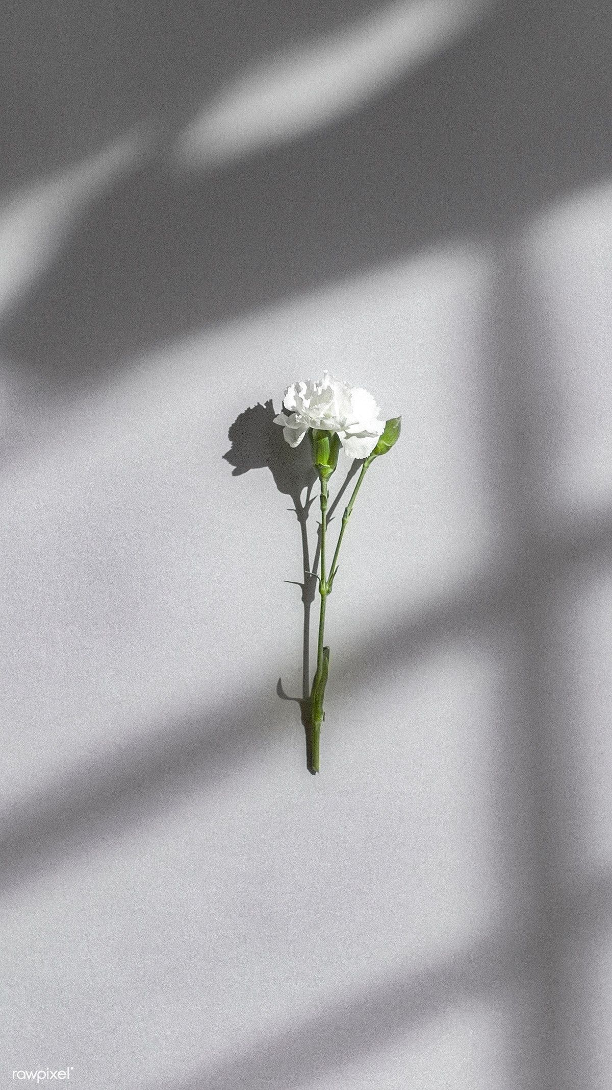 Download premium image of White carnation on a gray wall by McKinsey  about carnation, minimalist wallpaper, white flowers, gray, and shadow woman 1226359