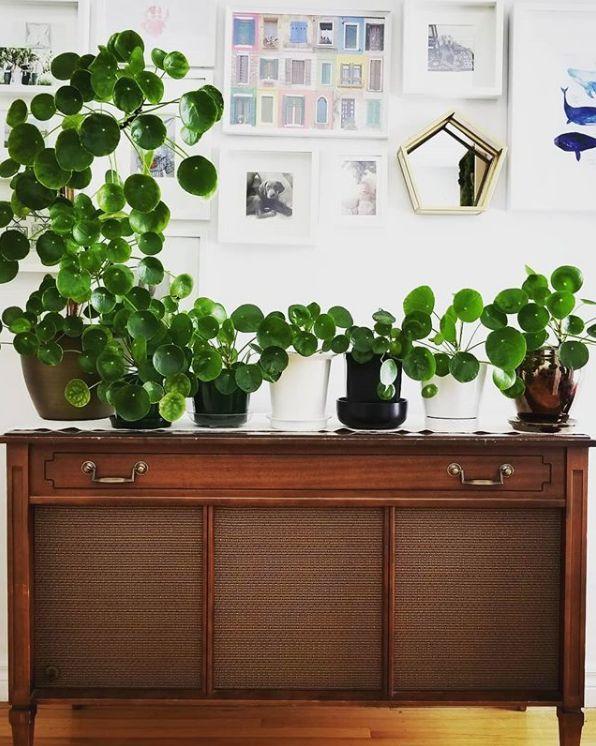 Pilea Peperomioides La Star Des Plantes Grasses Blog Deco