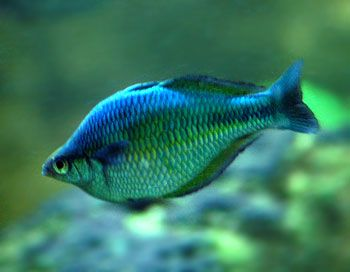 17 best images about rainbow fish on pinterest | madagascar, lakes, Reel Combo