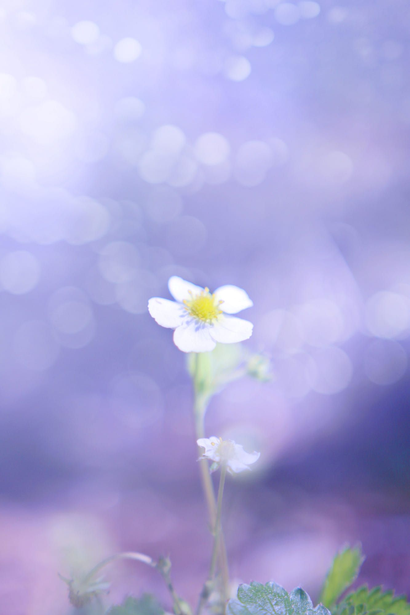 Strawberry Flower By Ella Lehti Lovely Bokeh Pinterest