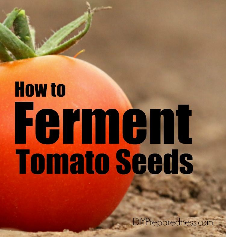 How to ferment your tomato seeds growing tomato plants