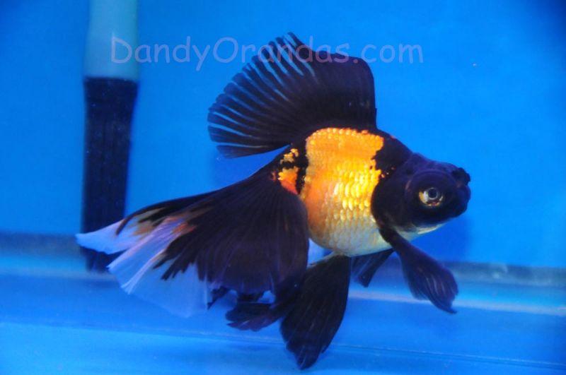 Dandyorandas Com Collector And Show Quality Goldfish Veiltail Goldfish Goldfish Aquarium Goldfish
