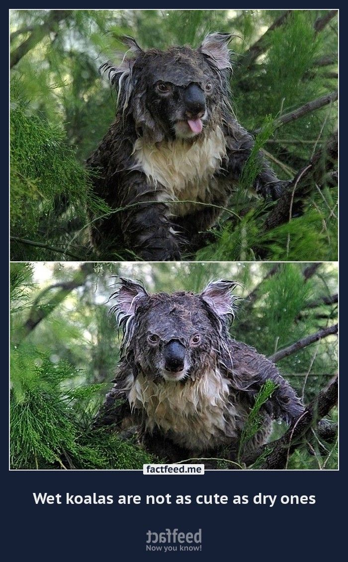 Wet Koalas Are Not As Cute As Dry Ones Funny Koala Funny Animals Koalas