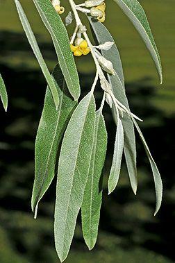 Elaeagnus Angustifolia Fact Sheet Little Garden Tree Id Small Trees