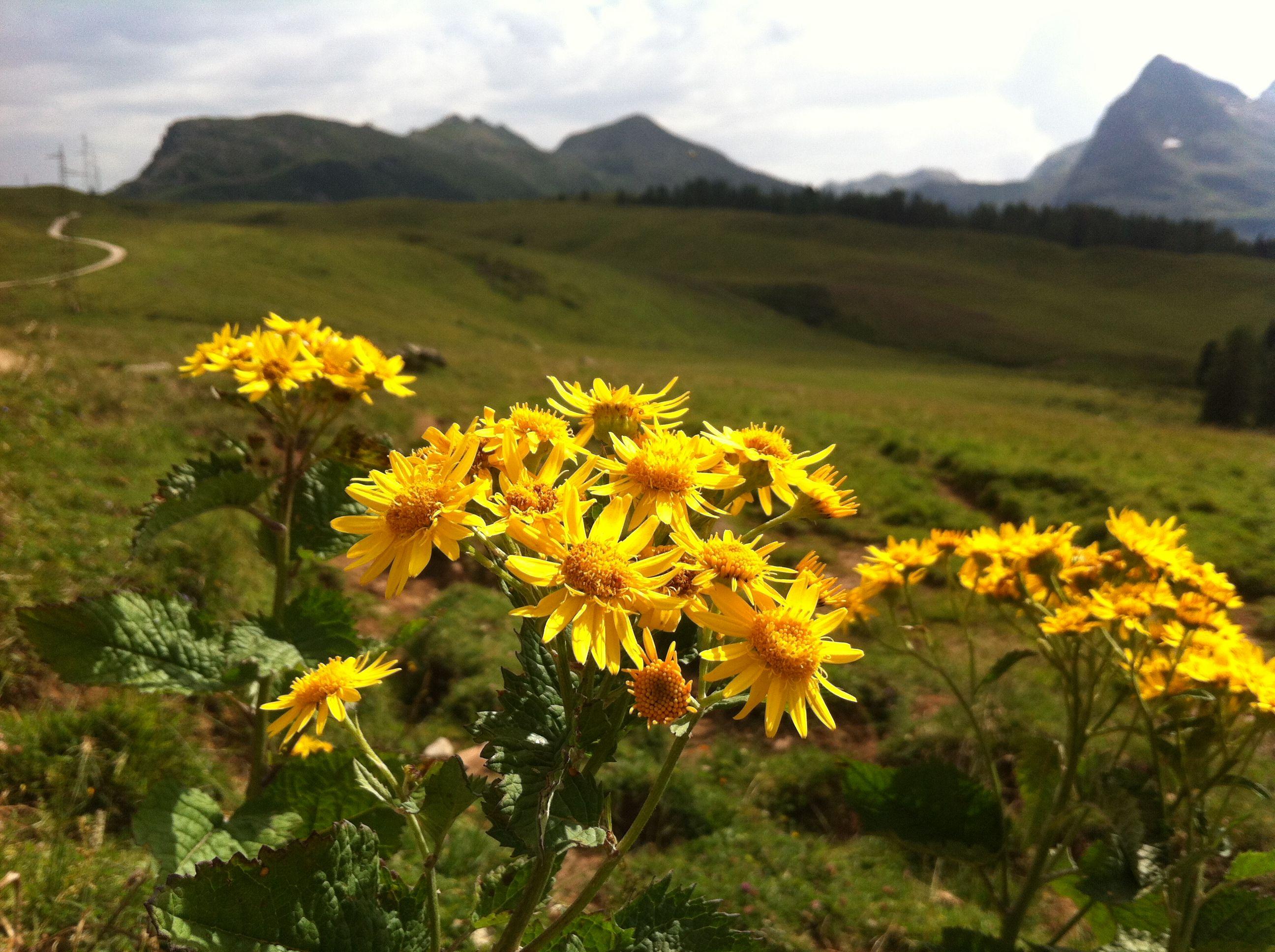 Fiori Gialli Montagna.Fiori Gialli Sul Sentiero Di Montagna With Images Nature