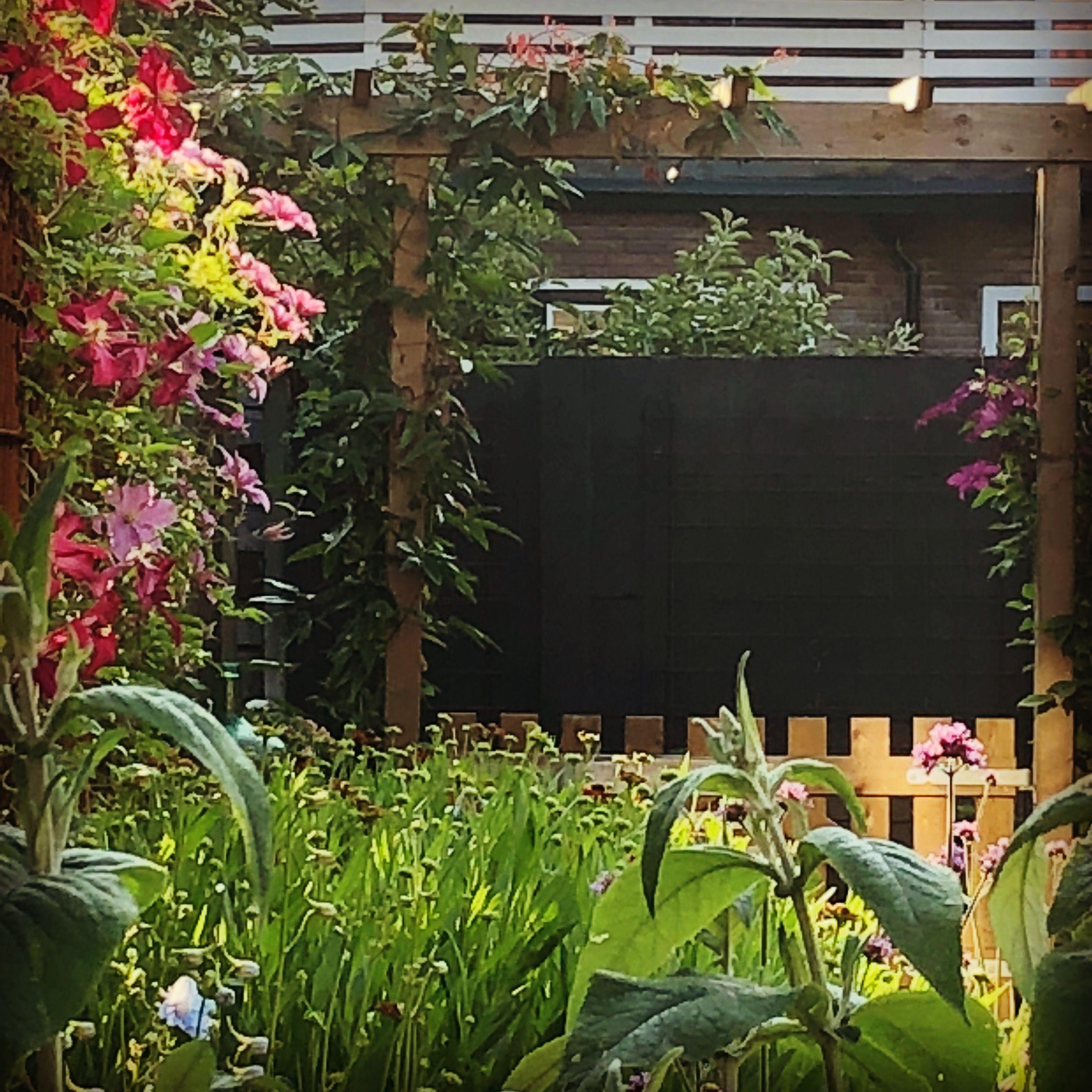 Pergola, Clematis, My Garden