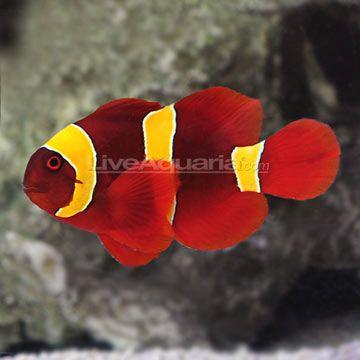 Gold Stripe Maroon Clownfish Captive Bred Ora Saltwater Fish Tanks Marine Fish Tanks Clown Fish