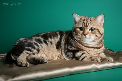 British Shorthair Black Golden Tabby Blotched Katzen