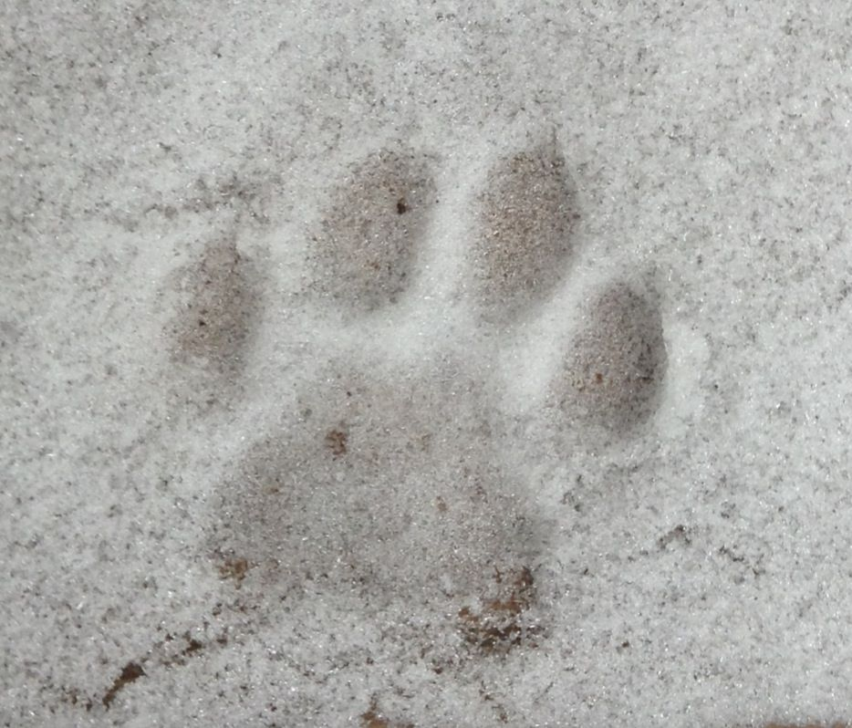 Little kitty paw print in the snow