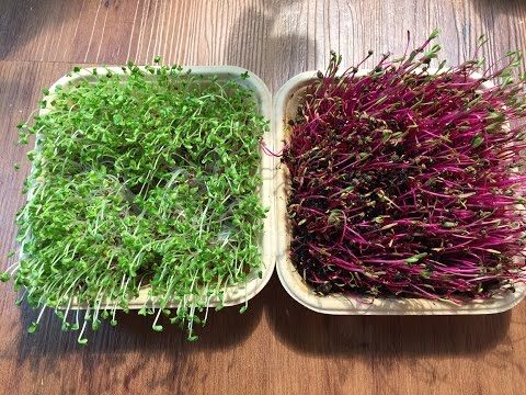 After 6 Weeks Of Growth Oregano Sage Amp Thyme Are Transplanted Into Cups And Moved Outdoors To A Shelf Green Microgreens Growing Microgreens Growing Beets