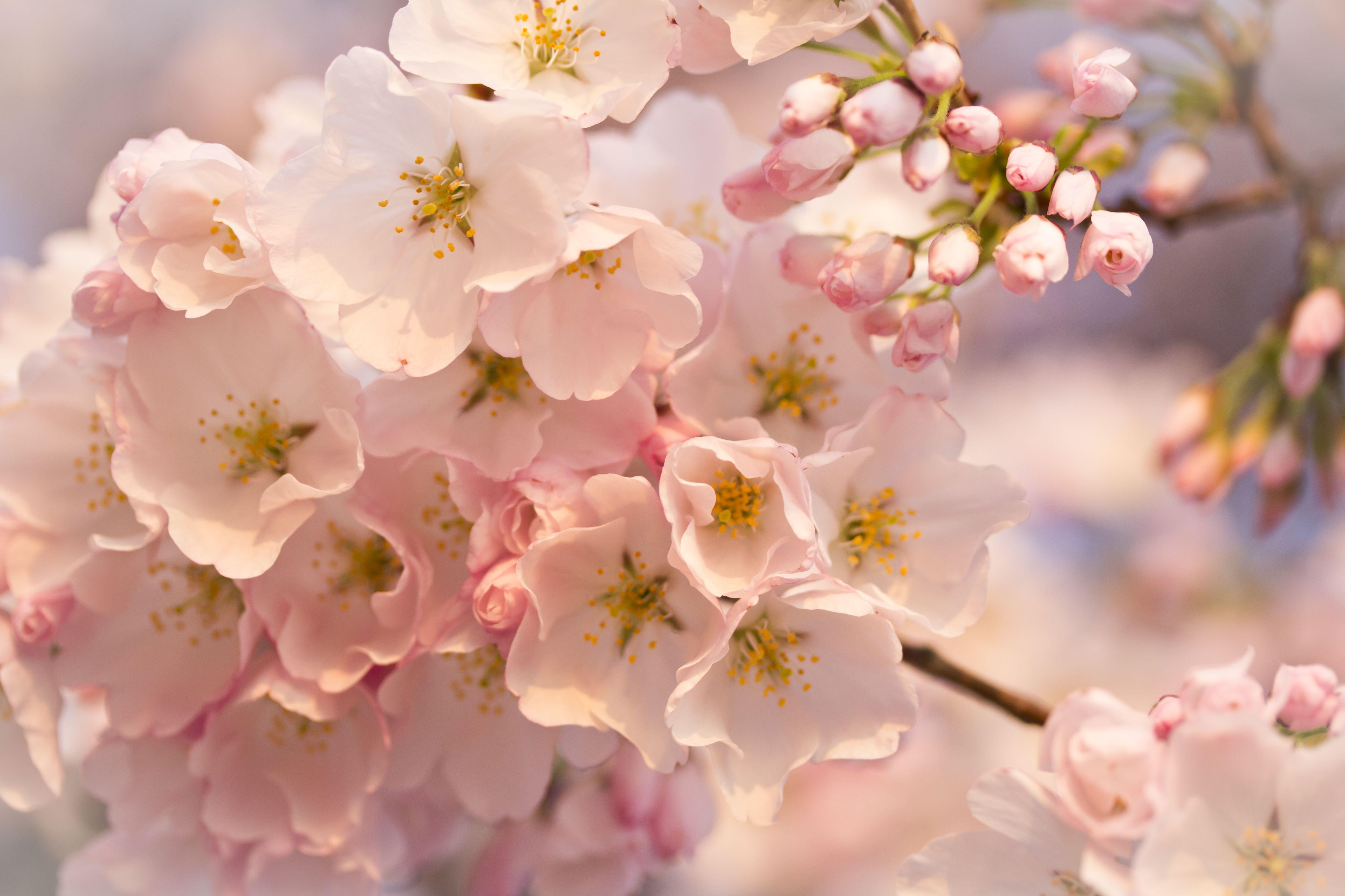 spring flowers macro hd desktop wallpaper widescreen high