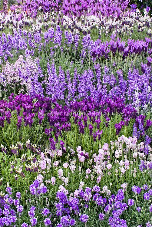 Lavandula Mix Of Types Of Lavender Herbs English Spanish Different Colors Purple Blue White Pink L Stoecha Purple Flowers Purple Garden Lavender Herb