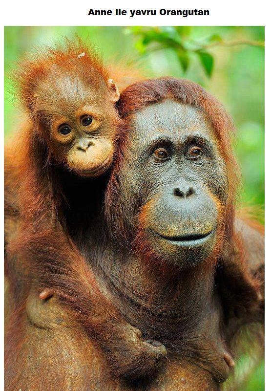 Anne ile yavru Orangutan