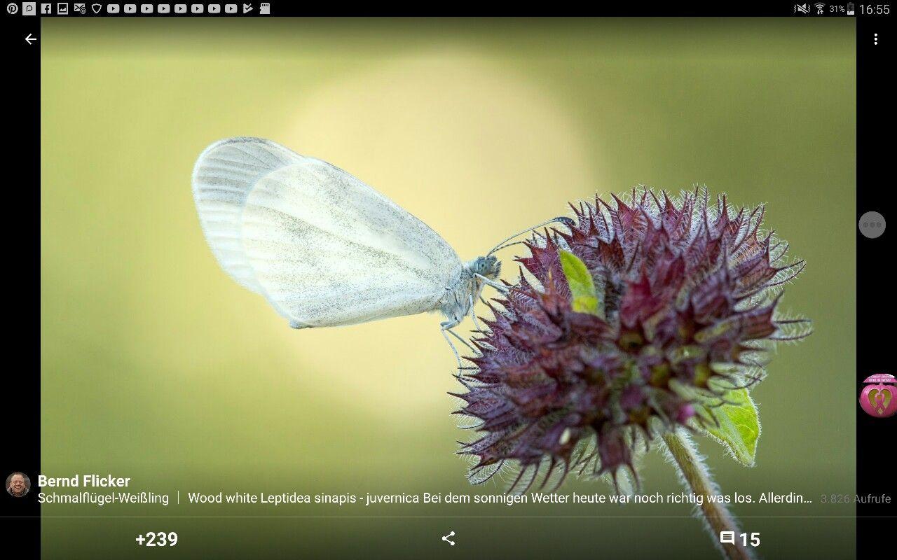 Pin Von Christel Schafer Auf Butterflys Schmetterlinge Schmetterling