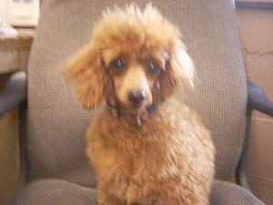 Adopt Avail 7 10 Urgent Toy Poodles 2 F 7 Yr Yrs 1 M 6yrs