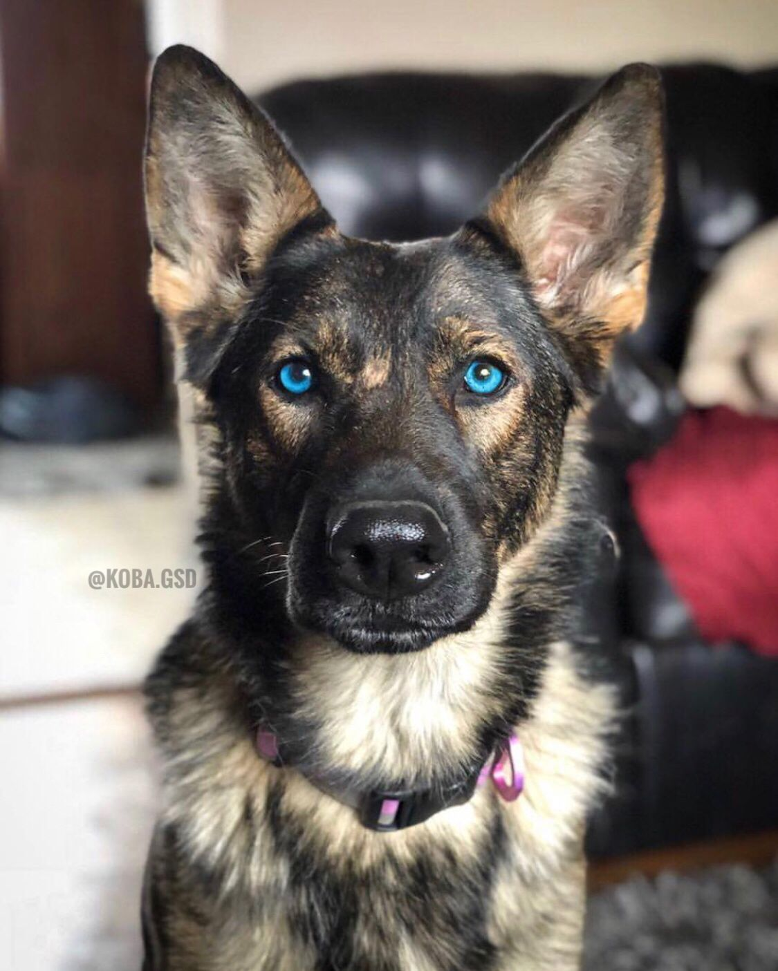 German Shepherd With Blue Eyes Dogpictures Dogs Aww Cuteanimals Dogsoftwitter Dog Cute German Shepherd Puppies German Shepherd Dogs Blue Eyed Dog