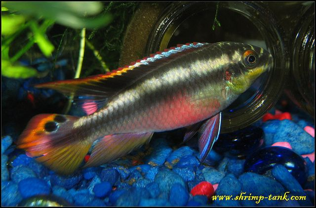 Kribensis Cichlid Pelvicachromis Pulcher Aquarium Fish Cichlid Fish Cichlids