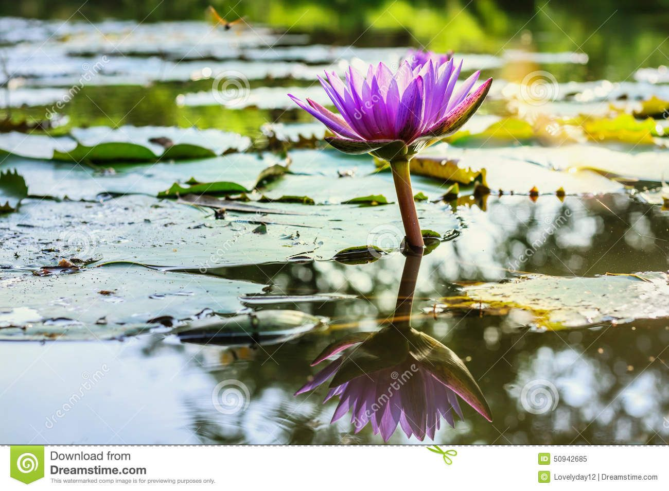 water lily pond - Google Search