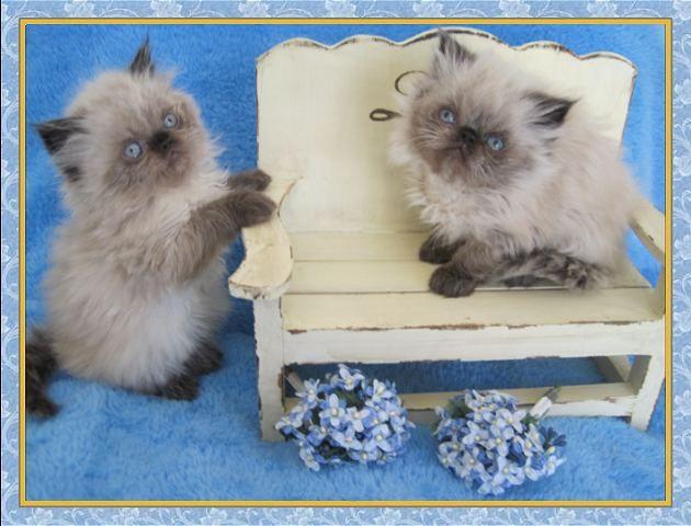 Himalayan kittens for sale Himalayan kitten, Himalayan