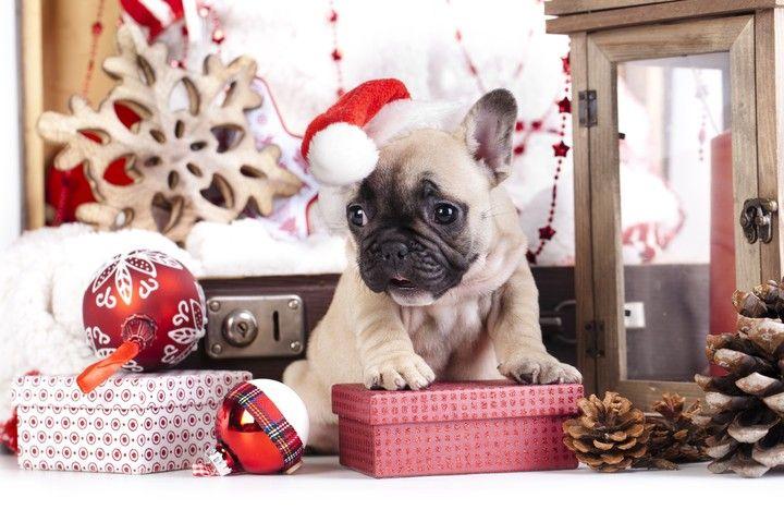 French Bulldog In Christmas French Bulldog