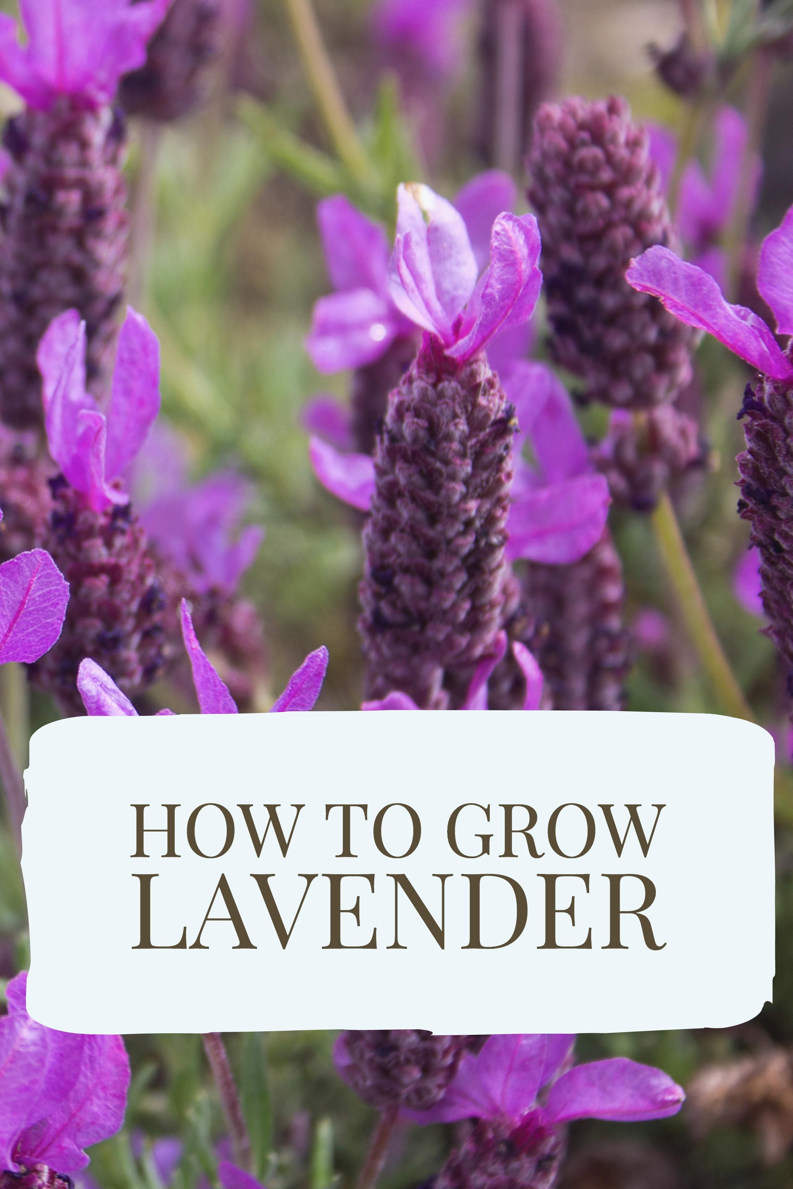 How to Grow Lavender | Lavender seeds, Lavender and Gardens