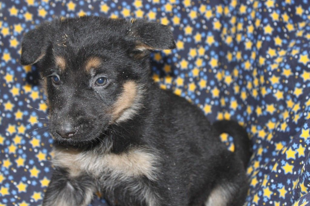 German Shepherd Puppies For Sale In York Pa Here Is A Litter That