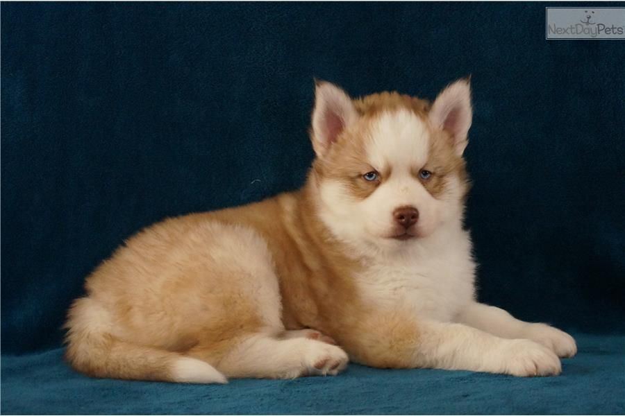 Siberian Husky Puppy For Sale Near Minneapolis St Paul