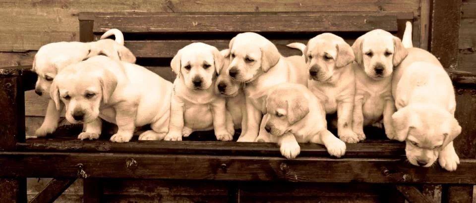 Maxfield Labradors Cheshire Uk Such Cuties Labrador