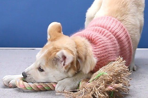 Just A Bunch Of Gifs Of Puppies Wearing Clothes And Being Cute